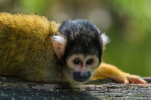 Totenkopfaffe - Black-capped Squirrel Monkey