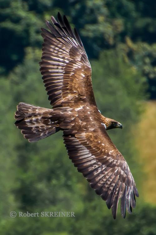 Golden Eagle - Steinadler