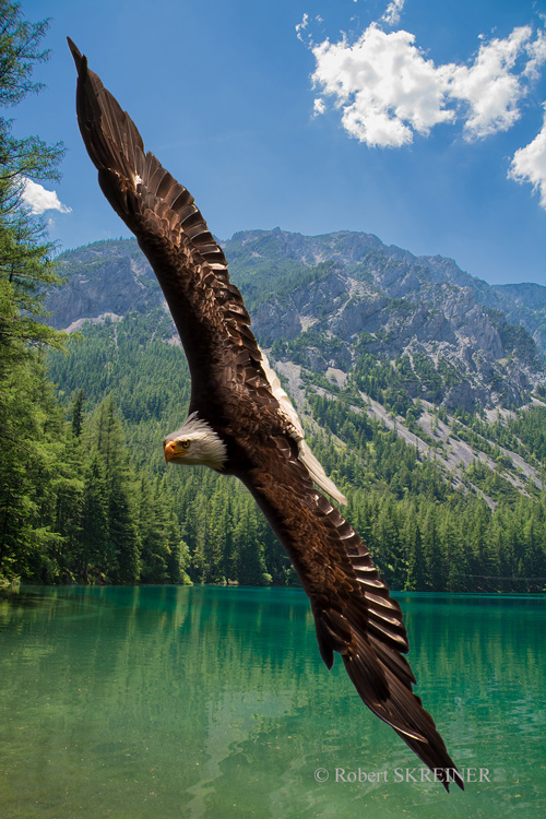 Bald Eagle - weisskopfseeadler
